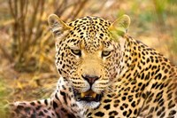 Leopard Profile at Africat Project, Namibia Fine Art Print