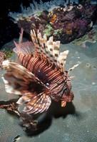 Lionfish at Daedalus Reef Fine Art Print