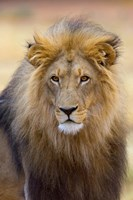 Male Lion at Africat Project, Namibia Fine Art Print