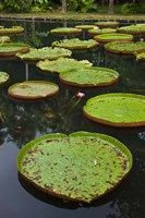 Mauritius, Botanical Garden, Giant Water Lily flowers by Walter Bibikow - various sizes