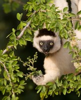 Madagascar. Verreaux's sifaka hanging in tree. by Jaynes Gallery - various sizes
