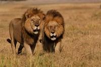 Lions, Duba Pride Males, Duba Plains, Okavango Delta, Botswana Fine Art Print