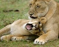 Kenya, Masai Mara, Keekorok Lodge. African lions by Jaynes Gallery - various sizes