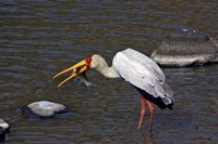 Kenya, Masai Mara. Yellow-billed stork, fish prey Fine Art Print