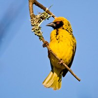 Masked Weaver bird, Drakensberg, South Africa Fine Art Print