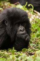 Gorilla resting, Volcanoes National Park, Rwanda Fine Art Print