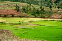 People working in green rice fields, Madagascar Fine Art Print