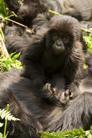 Baby Mountain Gorilla, Volcanoes National Park, Rwanda Fine Art Print