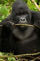 Gorilla chewing, Volcanoes National Park, Rwanda Fine Art Print