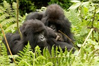 Pair of Gorillas, Volcanoes National Park, Rwanda Fine Art Print