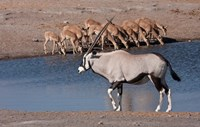 Namibia, Etosha NP, Chudop, Oryx, black-faced impala Fine Art Print