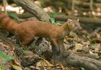 N. Ringtail Mongoose wildlife, Ankarana NP, Madagascar Fine Art Print