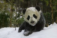 Panda Cub on Tree in Snow, Wolong, Sichuan, China by Keren Su - various sizes - $40.49