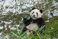 Panda Eating Bamboo on Snow, Wolong, Sichuan, China by Keren Su - various sizes - $40.49