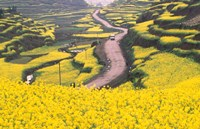 Mountain Path Covered by Canola Fields, China Fine Art Print