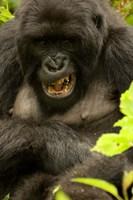 Mountain Gorilla, Volcanoes NP, Rwanda Fine Art Print