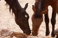 Namibia, Aus, Wild horses of the Namib Desert by Jaynes Gallery - various sizes