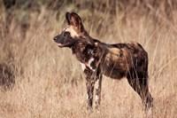 Namibia, Harnas Wildlife, African dog wildlife by Jaynes Gallery - various sizes