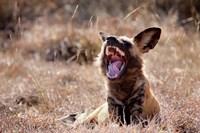 Namibia, Harnas Wildlife, African wild dog wildlife by Jaynes Gallery - various sizes