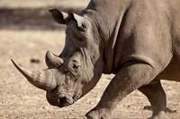 Profile close-up of endangered white rhinoceros, Okapuka Ranch, Windhoek, Namibia by Jaynes Gallery - various sizes, FulcrumGallery.com brand