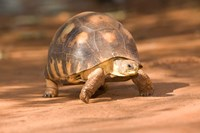 Radiated Tortoise in Sand, Madagascar by Joe & Mary Ann McDonald - various sizes, FulcrumGallery.com brand