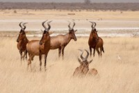 Red hartebeest, Etosha National Park, Namibia, Africa by Jaynes Gallery - various sizes, FulcrumGallery.com brand