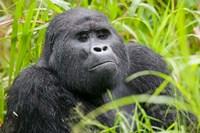 Mountain Gorilla in Rainforest, Bwindi Impenetrable National Park, Uganda by Paul Souders - various sizes