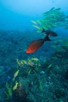 Mozambique, Guinjata Bay, Jangamo Beach, Tropical fish by Paul Souders - various sizes