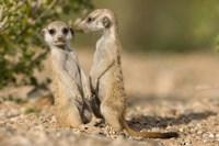 Namibia, Keetmanshoop, Namib Desert, Pair of Meerkats Fine Art Print