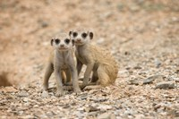 Namibia Keetmanshoop Meerkats Namib Desert