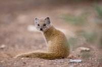 Namibia, Keetmanshoop, Yellow Mongoose wildlife by Paul Souders - various sizes