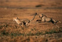Pair of cheetahs running, Maasai Mara, Kenya Fine Art Print
