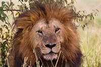 Old black maned male lion, Maasai Mara, Kenya by Adam Jones - various sizes