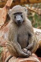 Olive Baboon primate, Lake Nakuru National Park, Kenya by Adam Jones - various sizes