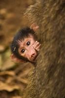 Olive Baboon primates, Lake Manyara NP, Tanzania by Adam Jones - various sizes