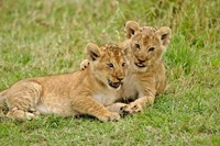 Pair of lion cubs playing, Masai Mara Game Reserve, Kenya Fine Art Print