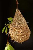Nest of Southern masked weaver, Etosha National Park, Namibia by David Wall - various sizes