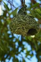 Southern masked weaver nest, Etosha NP, Namibia, Africa. by David Wall - various sizes