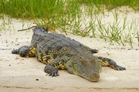 Nile crocodile, Chobe River, Chobe NP, Kasane, Botswana, Africa by David Wall - various sizes
