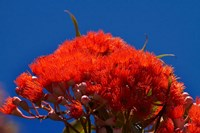 Orange flowers on Table Mountain, Cape Town, South Africa by David Wall - various sizes