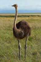 Ostrich, Etosha National Park, Namibia by David Wall - various sizes