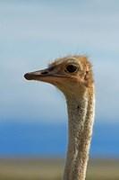 Ostrich, Struthio camelus, Etosha NP, Namibia, Africa. by David Wall - various sizes