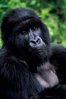 Close up of Mountain Gorilla, Rwanda Fine Art Print