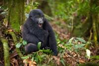 Mountain gorilla yawning, Volcanoes National Park, Rwanda by Art Wolfe - various sizes