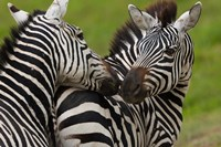 Plains zebras, Ngorongoro Conservation Area, Tanzania Fine Art Print