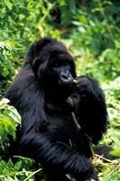 Mountain Gorilla, Virunga Volcanoes National Park, Rwanda by Art Wolfe - various sizes