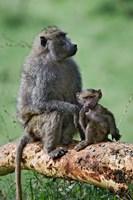 Olive Baboon, baby, Lake Nakuru National Park, Kenya by Adam Jones - various sizes