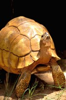 Plough-share Tortoise, Ampijeroa Forest Station, Madagascar by Pete Oxford - various sizes