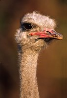 Namibia, Common Ostrich bird Fine Art Print