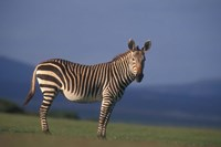 Rare Cape Mountain Zebra, South Africa Fine Art Print